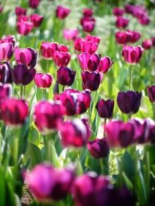 tulipa-366661_640